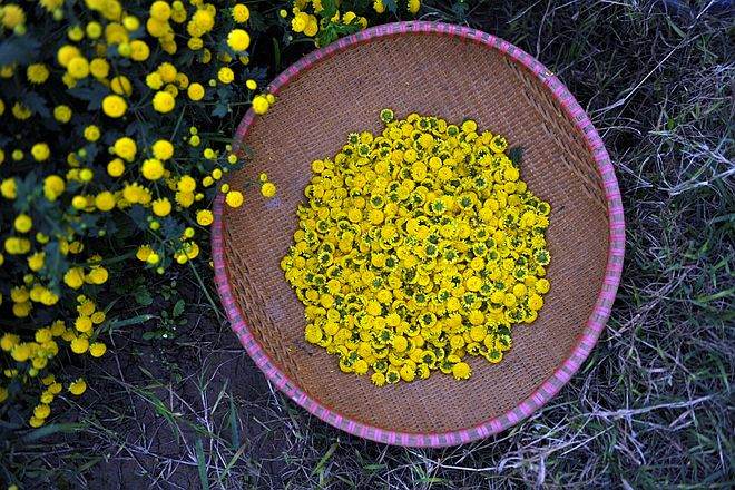 Hoa kim cúc tươi khi hái tại vườn