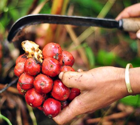 Thu hoạch thảo quả trên Lào Cai