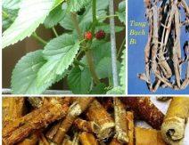 Vỏ rễ cây dâu/Tang bạch bì