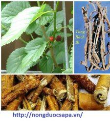 Vỏ rễ của cây dâu tằm còn gọi là Tang bạch bì