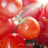 Cà chua có thể bảo vệ chống lại tia cực tím và giảm nguy cơ ung thư da